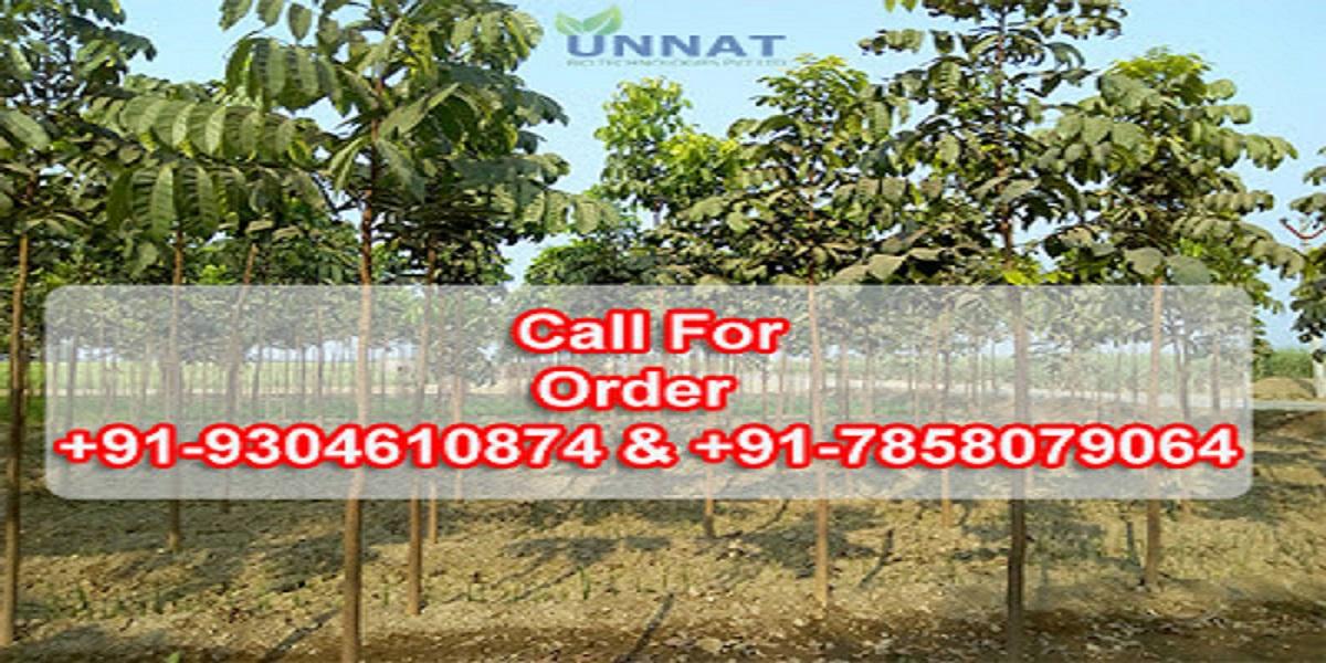 Important Facility of Mahogany Plantation in India