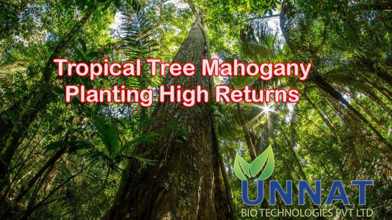 Tropical Tree Mahogany — Planting High Returns