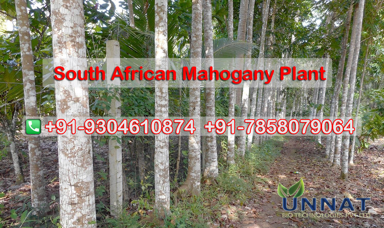 South African Mahogany Plant Supplier in Patna